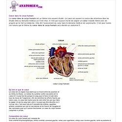 Le coeur dans le corps humain