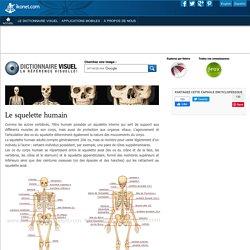 Le squelette humain