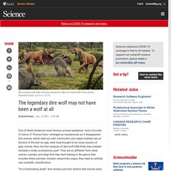 The legendary dire wolf may not have been a wolf at all