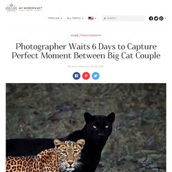 Leopard and Black Panther Couple Caught on Film After 6 Day Wait