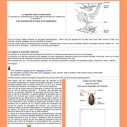 Les insectes de la mare et la respiration