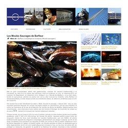 Les Moules Sauvages de Barfleur