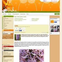 Liatris - Strat de flori