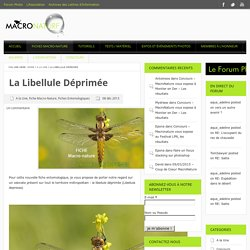 La libellule déprimée - Macronature