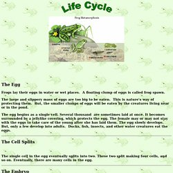 Life Cycle of frogs