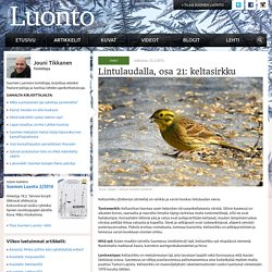Lintulaudalla, osa 21: keltasirkku