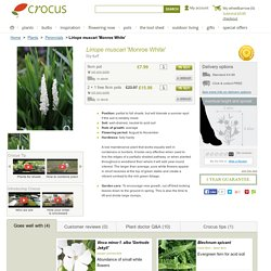 Buy lily-turf Liriope muscari 'Monroe White': Delivery by Crocus