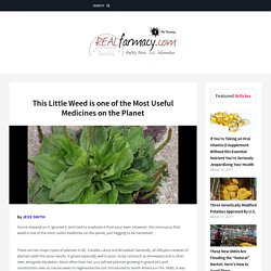 This Little Weed is one of the Most Useful Medicines on the Planet – REALfarmacy.com