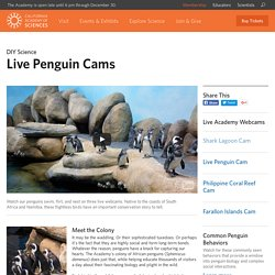 Live Penguin Cams Streaming from the Academy