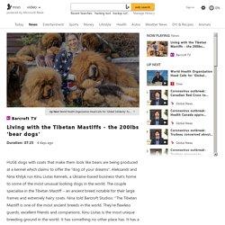 Living with the Tibetan Mastiffs - the 200lbs 'bear dogs'