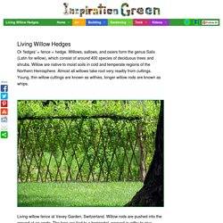 Living Willow Hedges