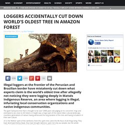 Loggers Accidentally Cut Down World's Oldest Tree in Amazon Forest World News Daily Report