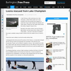Loons rescued from Lake Champlain