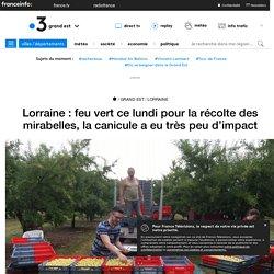 Lorraine : feu vert ce lundi pour la récolte des mirabelles, la canicule a eu très peu d'impact