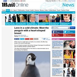 I'm a real lovebird: Meet the penguin with a heart-shaped breast