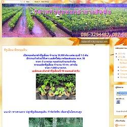 ซีรูเลียม พืชคลุมดิน
