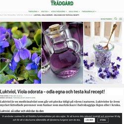 Luktviol, Viola odorata – odla egna och testa kul recept!