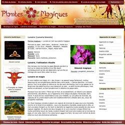 Lunaire (Lunaria biennis) - Plante magique: pouvoirs, rituels