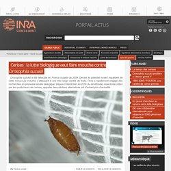 INRA 20/06/16 Cerises : la lutte biologique veut faire mouche contre Drosophila suzukii