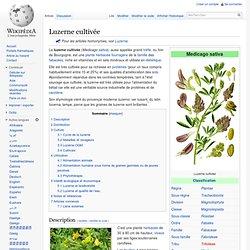 Luzerne cultivée