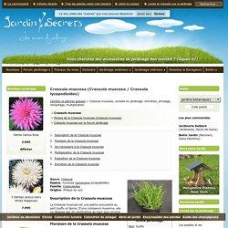 Crassula muscosa (Crassula muscosa / Crassula lycopodioides) : arrosage, entretien