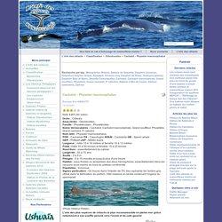 Cachalot - Physeter macrocephalus