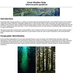 GIANT BLADDER KELP