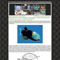 Macropinna microstoma, le poisson à tête transparente.