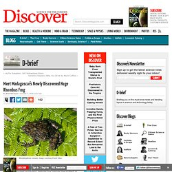 Meet Madagascar's Newly Discovered Huge Rhombus Frog