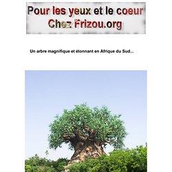 Un arbre magnifique et tonnant en Afrique du Sud...