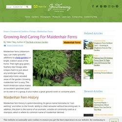 Maidenhair Fern Care - How To Grow A Maidenhair Fern