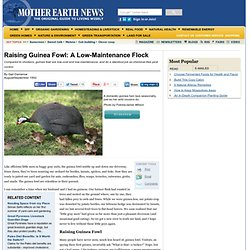 Raising Guinea Fowl: A Low-Maintenance Flock - Sustainable Farming