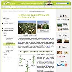 Maïs : Amélioration des variétés