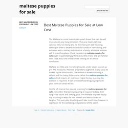 Best Maltese Puppies for Sale at Low Cost