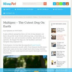 Maltipoo - The Cutest Dog On Earth - WewPet