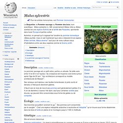Malus sylvestris/Pommier sauvage