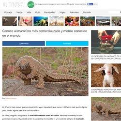 Conoce al mamífero más comercializado y menos conocido en el mundo