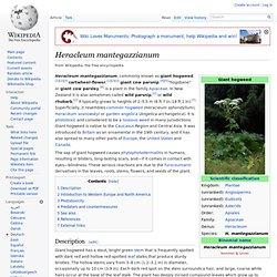 WIKIPEDIA - Heracleum mantegazzianum.