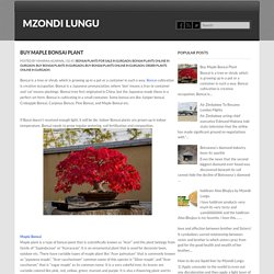 Buy Maple Bonsai Plant ~ Mzondi Lungu
