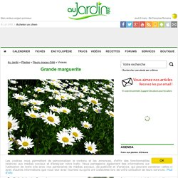 Grande Marguerite, Chrysanthemum maximum : conseils de culture