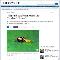 """Biologie : Wespe macht Marienkäfer zum """"Zombie-Wächter"""" - Nachrichten Wissenschaft - Natur & Umwelt"""