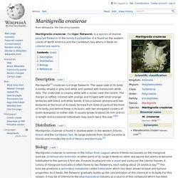 Maritigrella crozierae