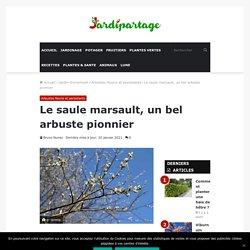 Saule marsault, Salix caprea : Plantation, taille, usages