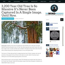 3,200 Year Old Tree Never Been Captured In A Single Image...