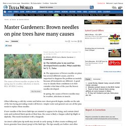 Master Gardeners: Brown needles on pine trees have many causes - Tulsa World: Garden Advice