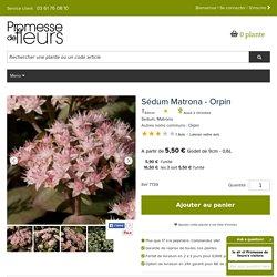 Sedum Matrona - Orpin - Vivace dotée de larges cymes de petites fleurs étoilées rose clair