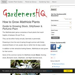 How to Grow Stock, Gillyflower, Perfume Plant