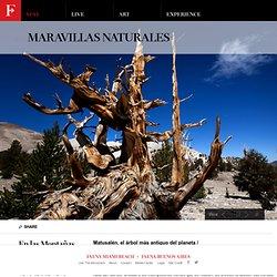 Matusalén, el árbol más antiguo del planeta