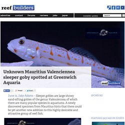 Unknown Mauritius Valenciennea sleeper goby spotted at Greenwich Aquaria
