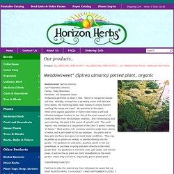 Meadowsweet* (Spirea ulmaria) potted plant, organic